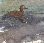 bluebill duck watercolour